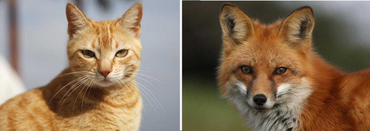 Cat and Fox, have many similar trails