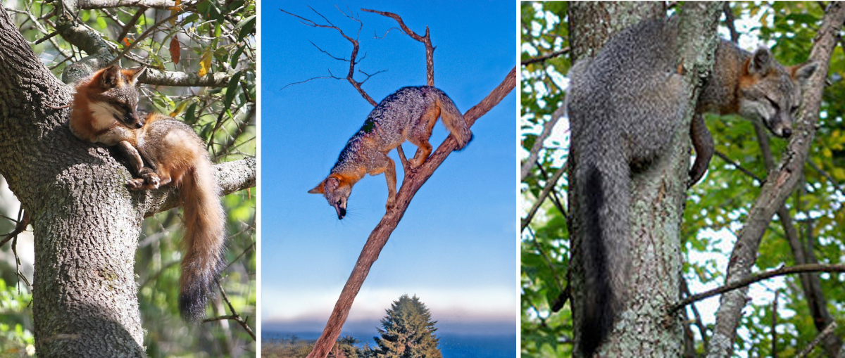 Gray Foxes on Tree