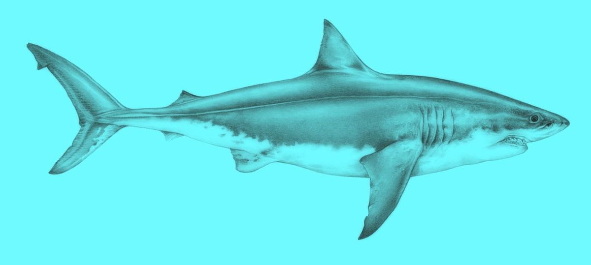 Illustration of the Great White Shark ( Carcharodon Carcharias. )