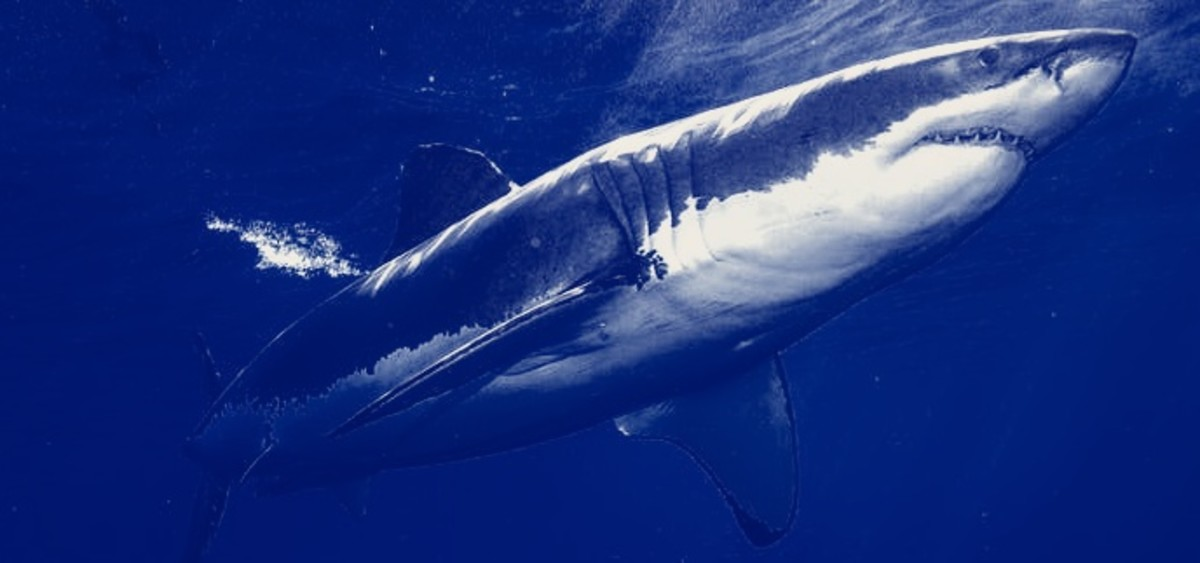 The Great White Shark is an apex predator and has few enemies in the deep blue sea.