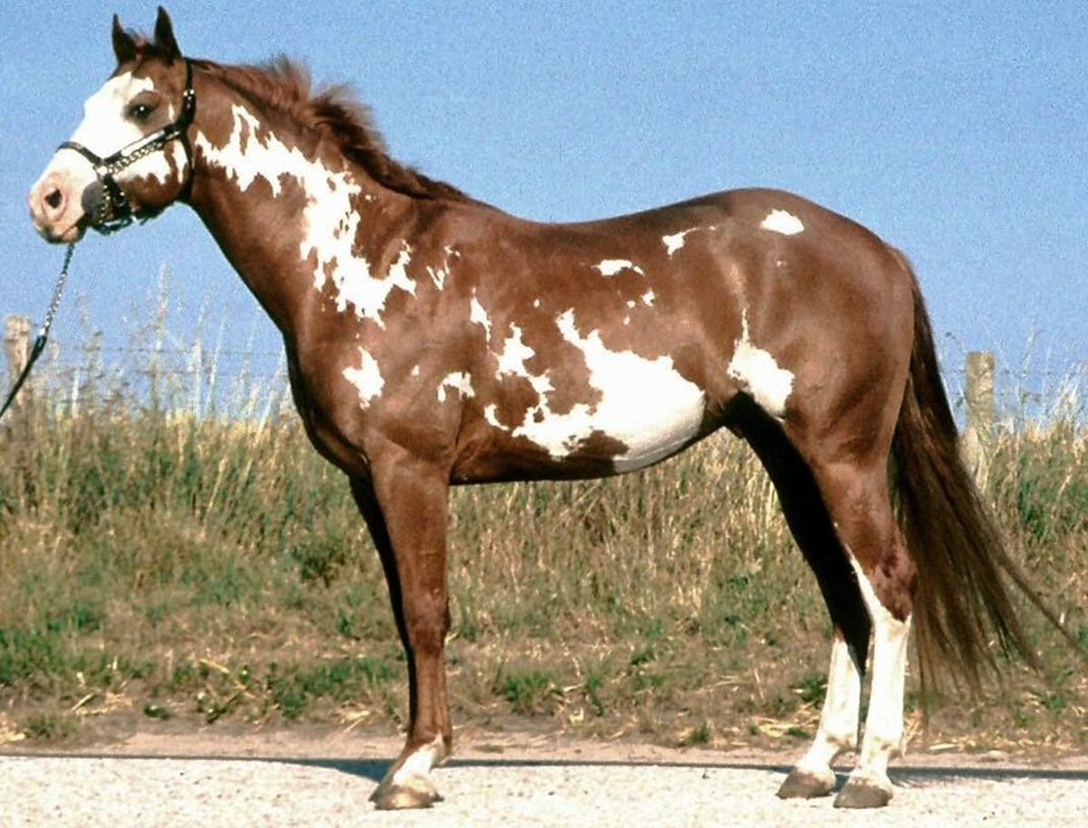 A Paint Horse has color patterns similar to the one pictured here. This color pattern is known as an Overo style.