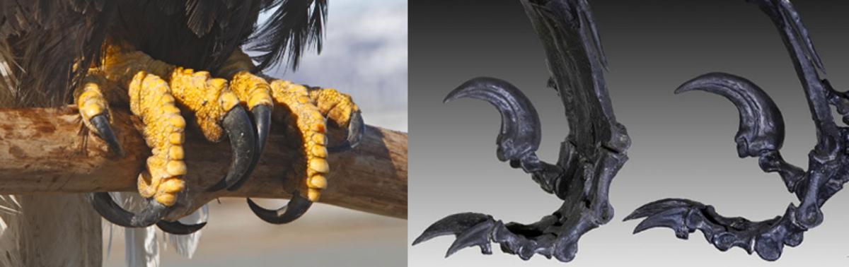 An eagle's feet (left), and a Deinonychus' feet