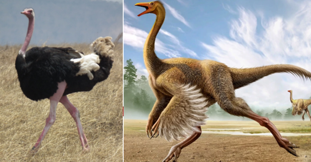 The ostrich (left), and the struthiomimus (right)