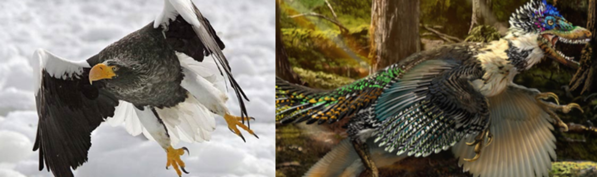 The two raptors; a Steller's sea eagle (left) and a velociraptor (right)