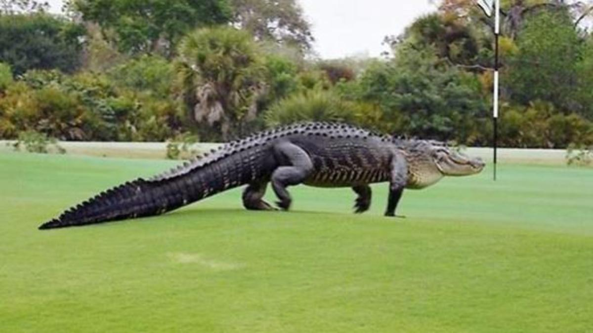 A large alligator walking in a golf course in Florida.