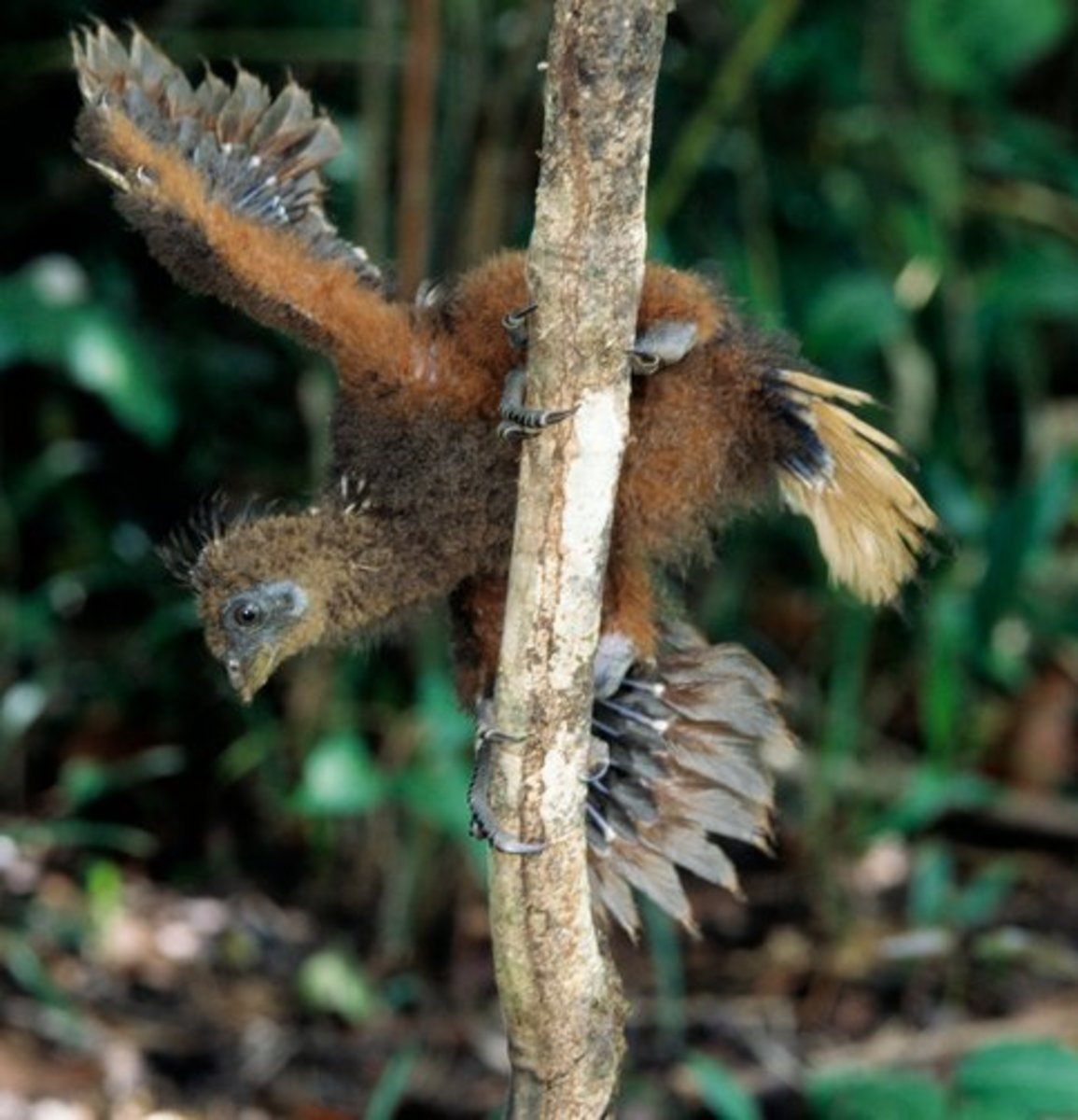A hoatzin chick using its wing claws to climb tree branches.