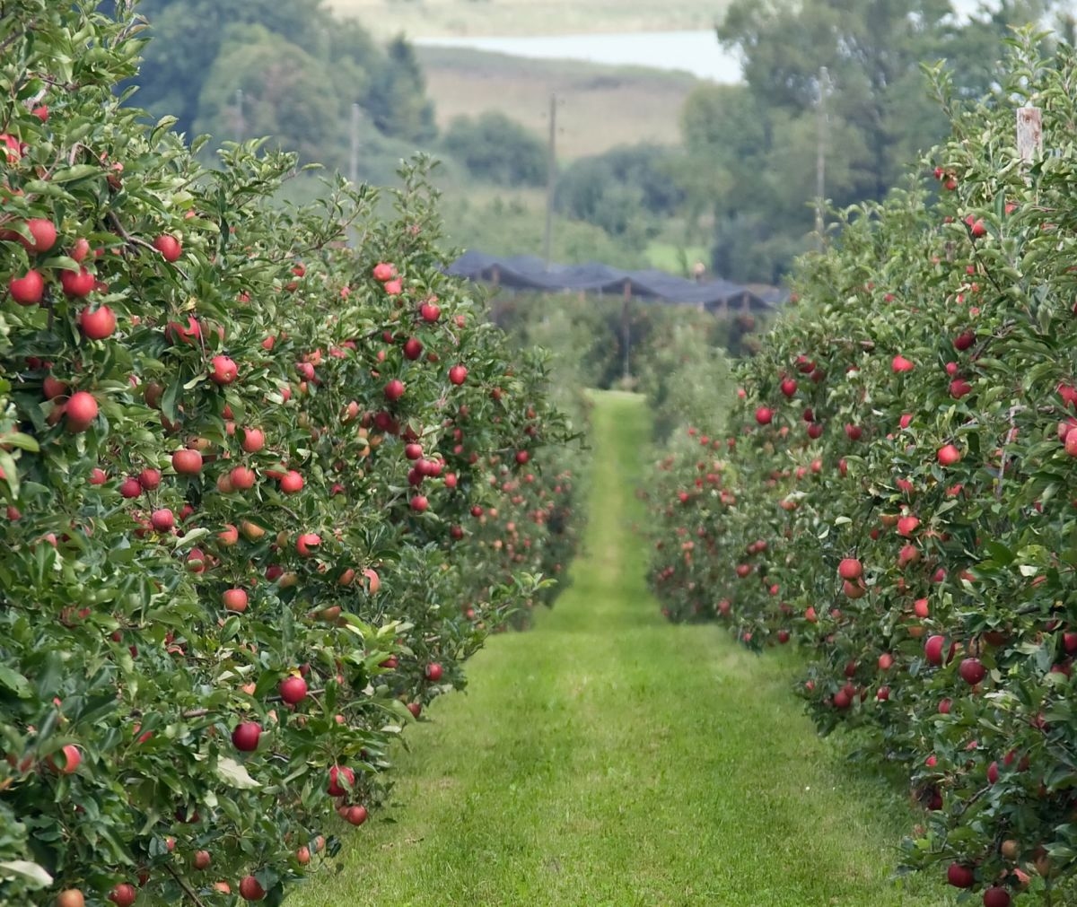 Seen here is a local orchard in its natural climate sits atop a foggy mountain yielding a bountiful harvest for the upcoming fall and winter.