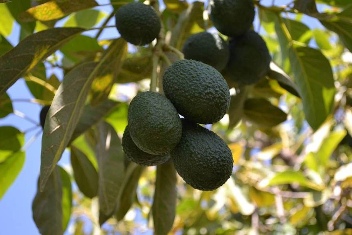 The avocado is a tree, long thought to have originated in South Central Mexico, classified as a member of the flowering plant family Lauraceae. The fruit of the plant, also called an avocado, is botanically a large berry containing a single large see