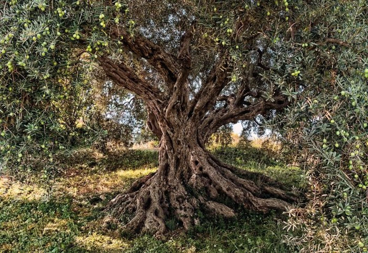 """The olive, known by the botanical name Olea europaea, meaning """"European olive"""", is a species of small tree in the family Oleaceae, found in the Mediterranean Basin from Portugal to the Levant, the Arabian Peninsula, and southern Asia as far east as C"""