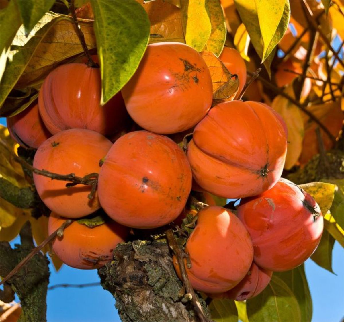 The persimmon is the edible fruit of a number of species of trees in the genus Diospyros. The most widely cultivated of these is the Asian or Japanese persimmon, Diospyros kaki. Diospyros is in the family Ebenaceae, and a number of non-persimmon spec
