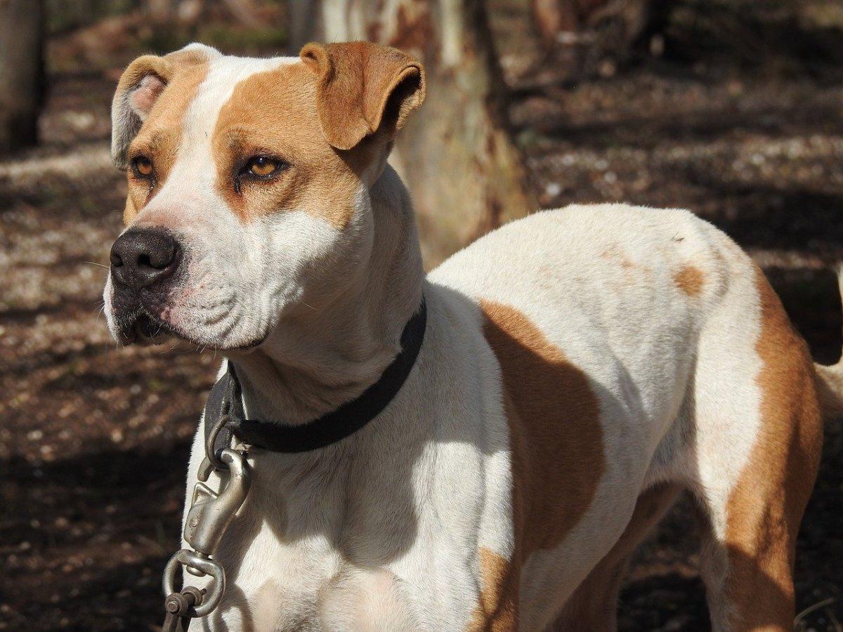 Australian Shepherd Pitbull Mix - Aussie Pitbull