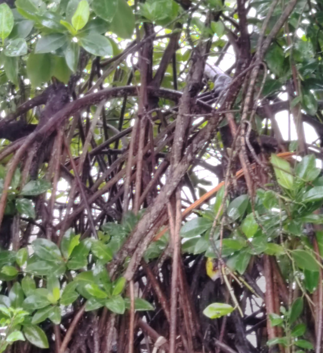 Prop-root supports the mangrove plants on marshy habitat