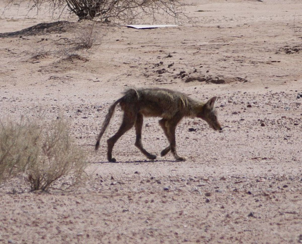 Real Chupacabra? Most likely it's A coyote with mange