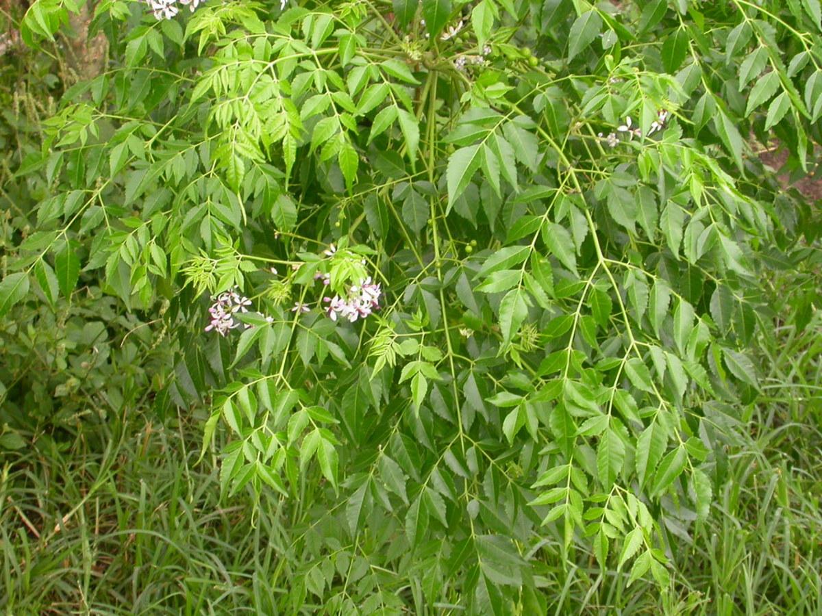 Using Melia Azedarach Meliaceae Tree to treat Measles