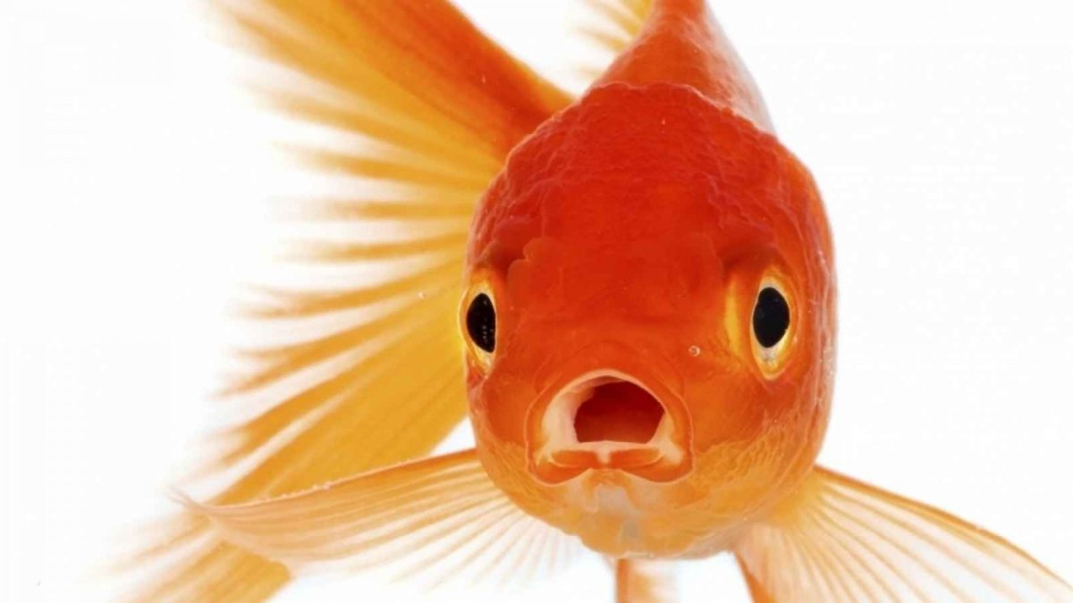 According to some experts, our attention spans may have shortened to that of LESS than a goldfishs'.