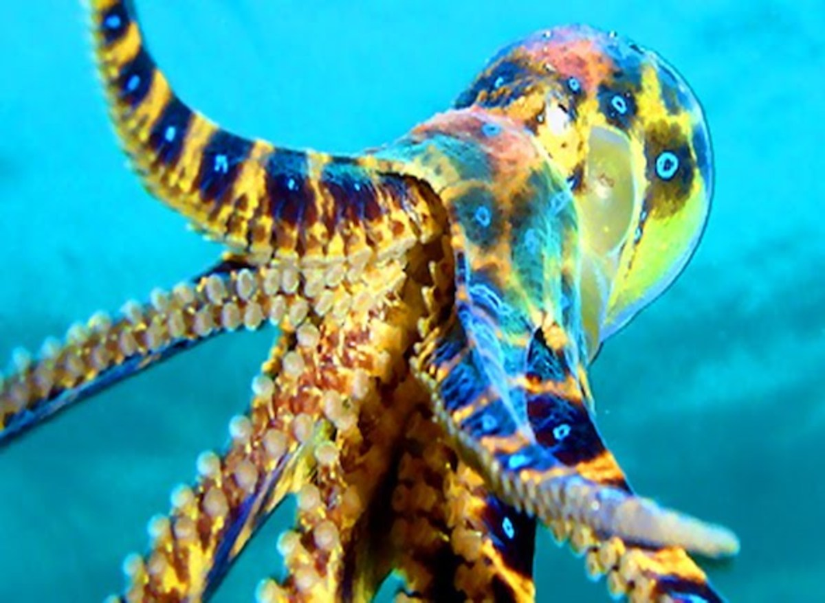 Blue-Ring Octopus