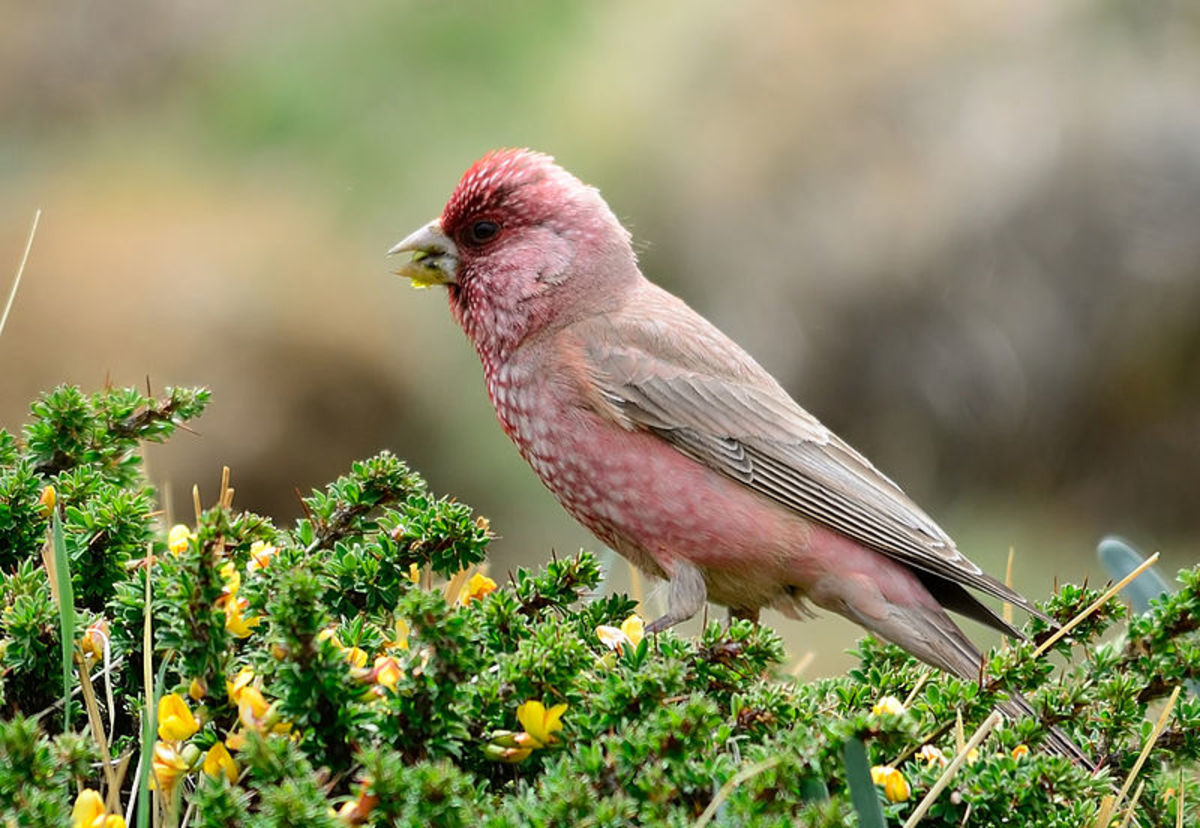 Great Rosefinch male (Carpodacus severtzovi) from Kibber, Himachal Pradesh