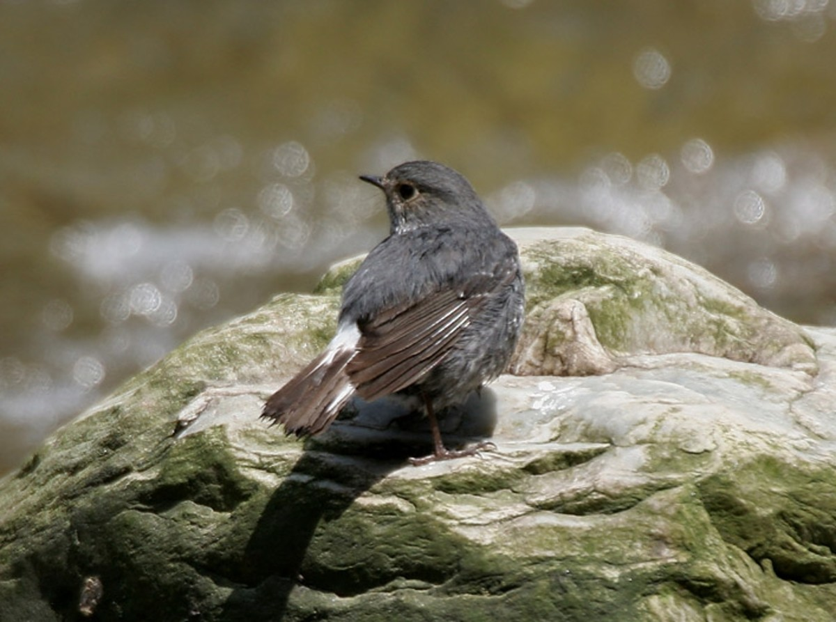 Plumbeous Water Redstart (Rhyacornis fuliginosus) in Kullu