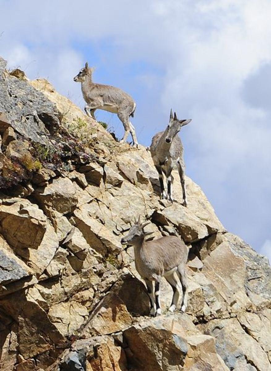 wildlife-in-himachal-pradesh