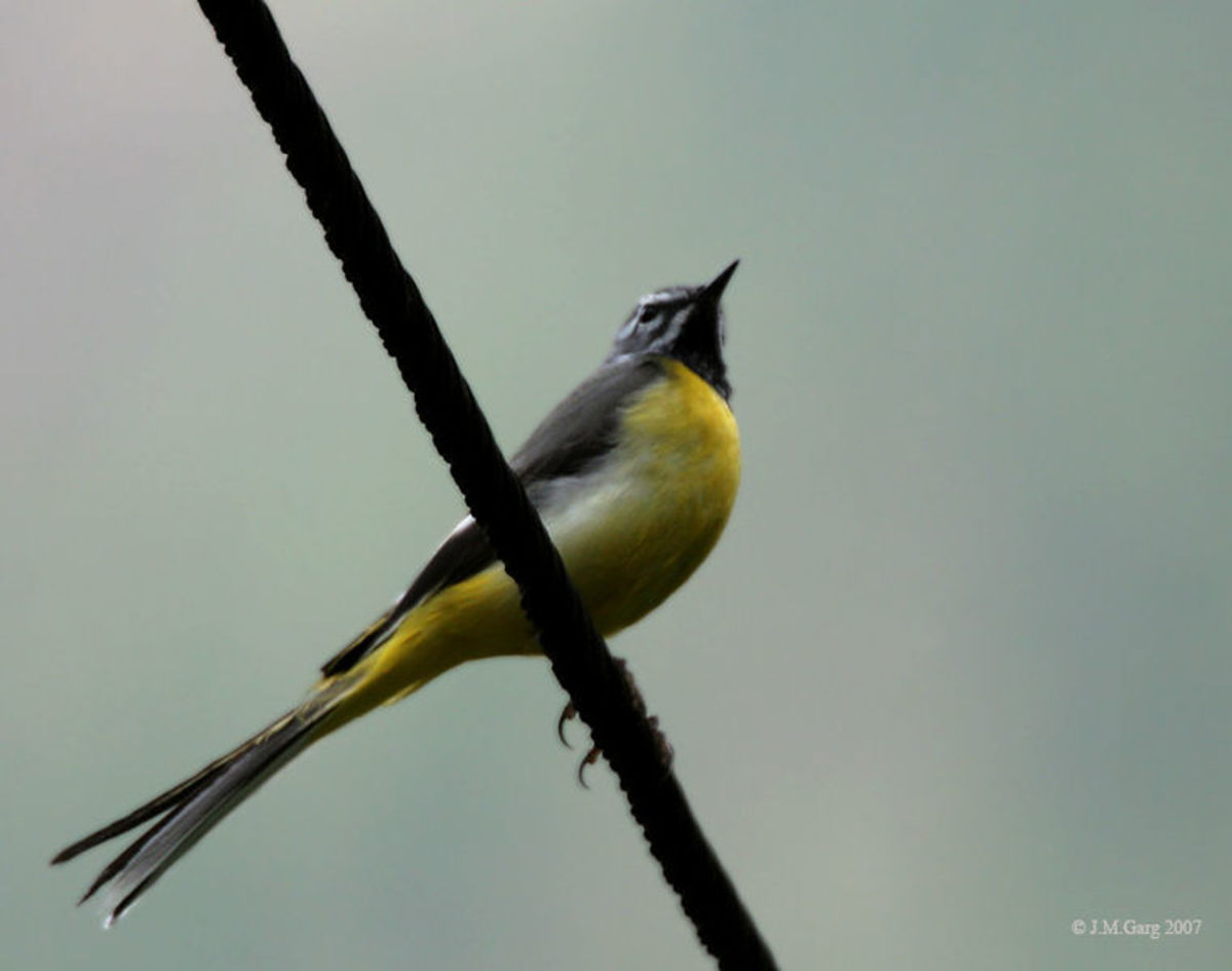 Grey Wagtail Motacilla cinerea found in Kullu on way to Guna Pani during Sar Pass Trek.