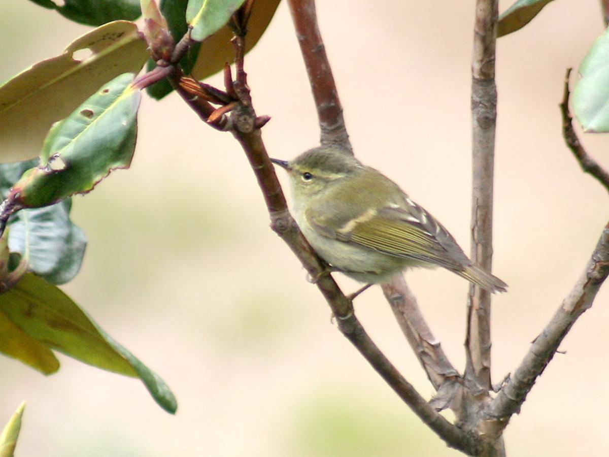 Hume's Warbler Phylloscopus humei in Kullu