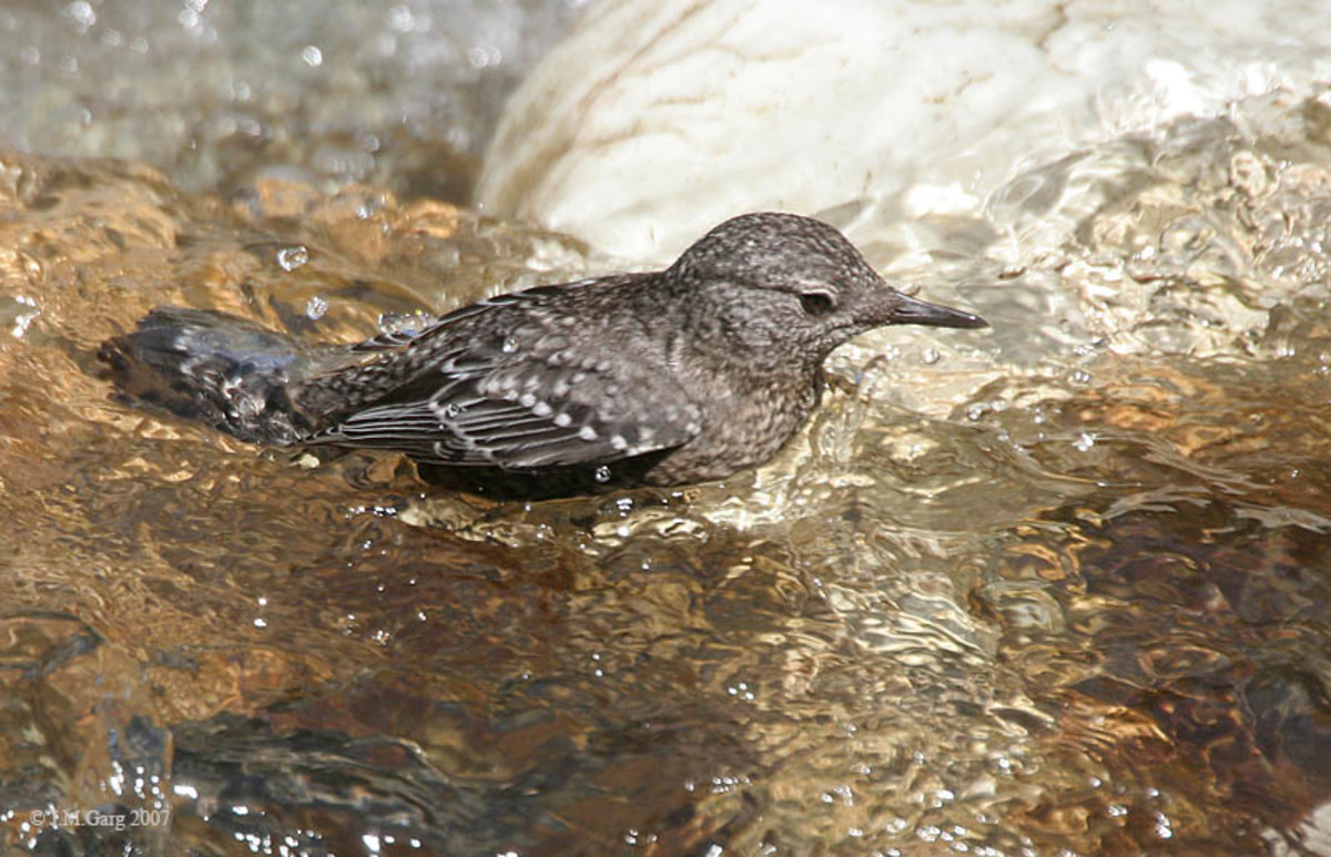 Brown Dipper Cinclus pallasii at Kasol (6500 ft.) in Kullu