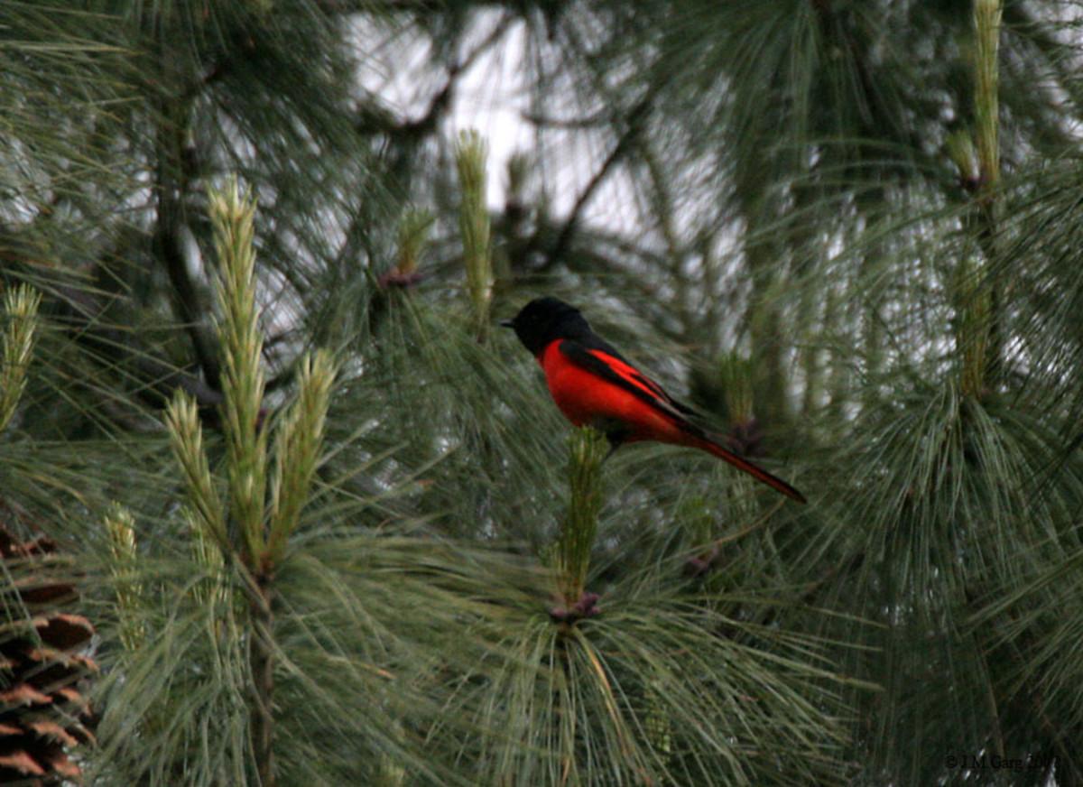 Long-tailed Minivet Pericrocotus ethologus at 9000 ft. in Kullu