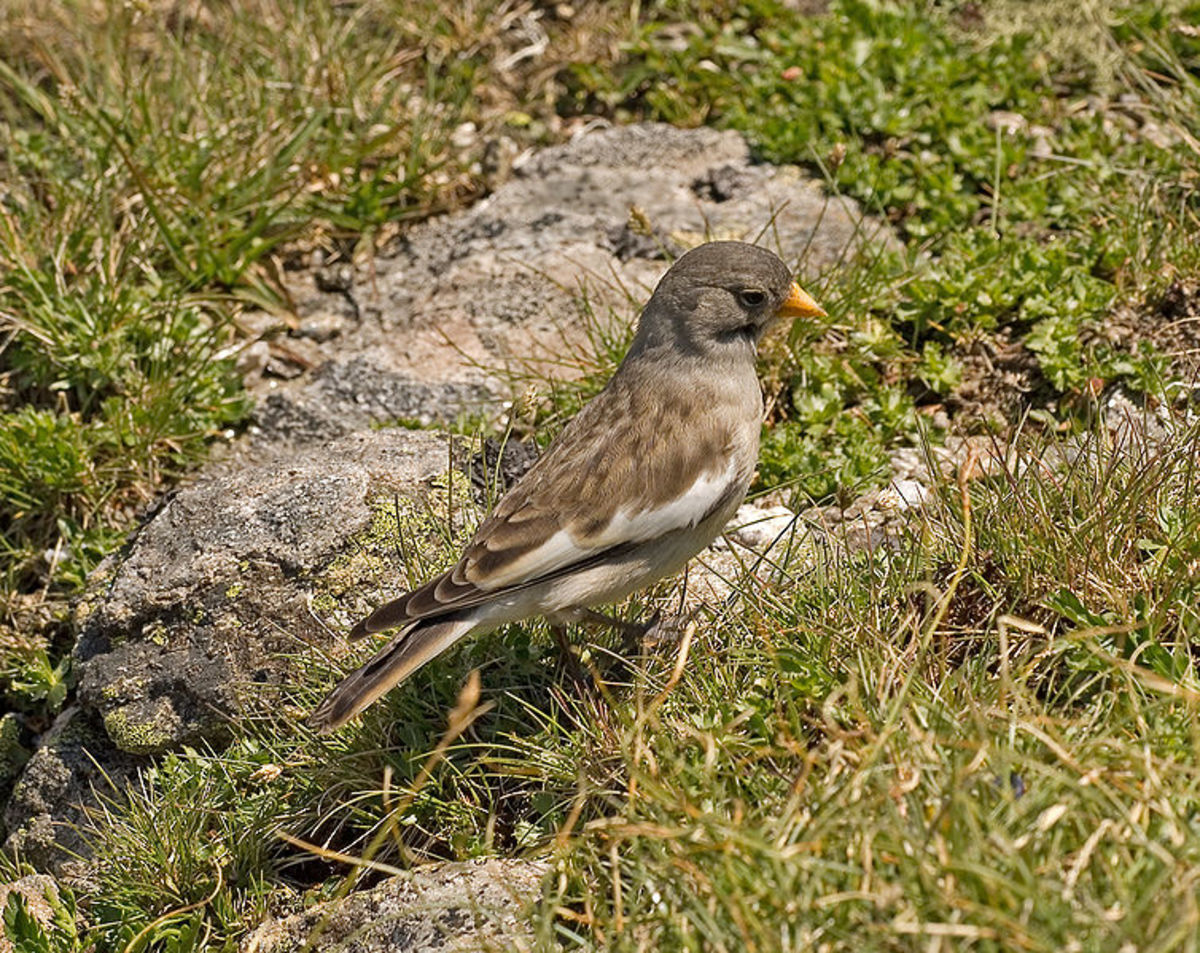 Snowfinch or Montifringilla nivalis