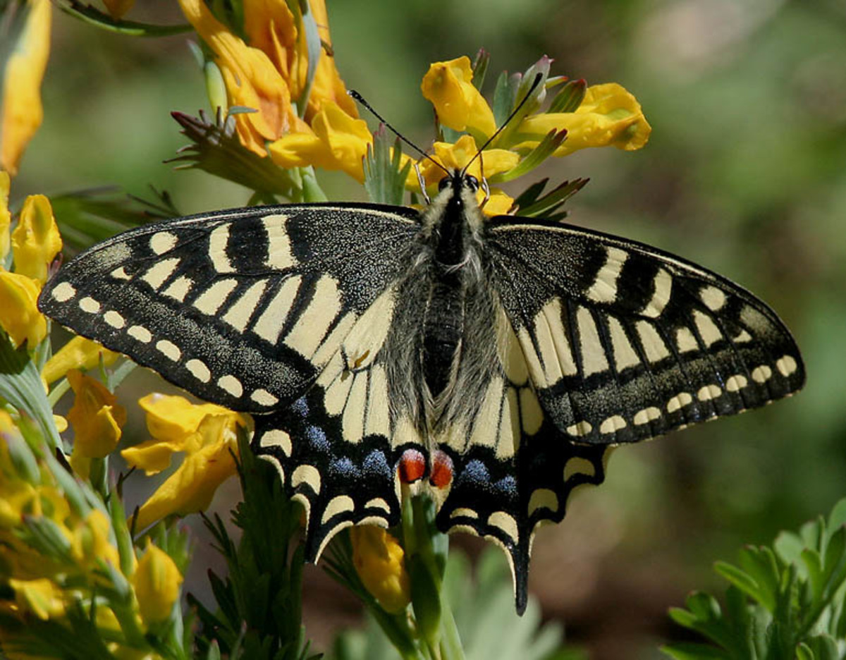 Common Yellow Swallowtail ( Papilio machaon) found at Kullu during Sar Pass Trek on way to Zirmi Thaatch(11000 ft.).