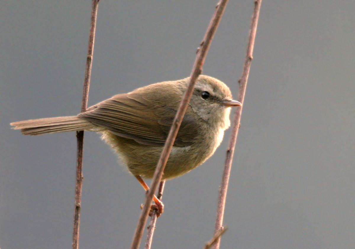 Brownish-flanked Bush Warbler Cettia fortipes at Guna Pani (8000 ft.) in Kullu