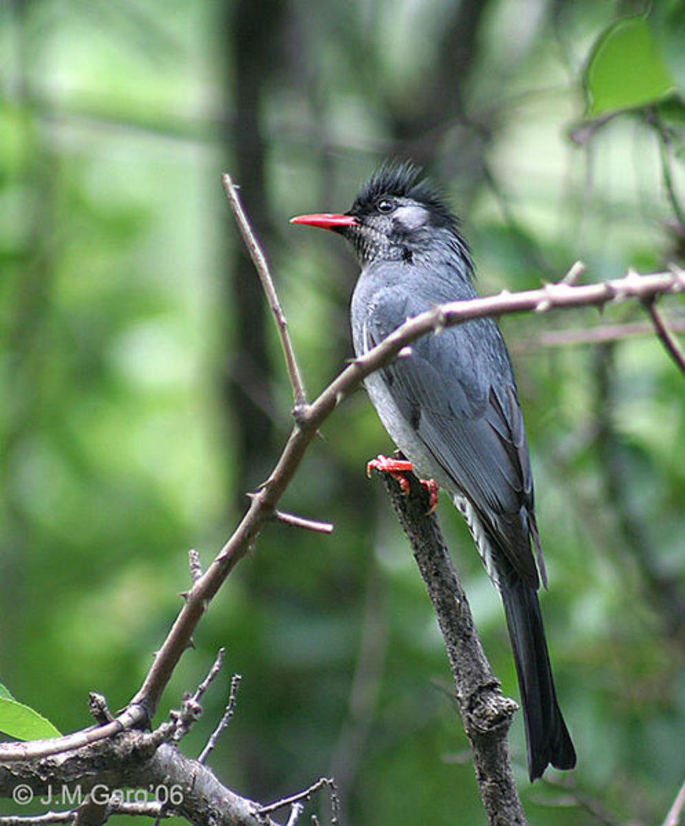 Black bulbul Hypsipetes leucocephalus race psaroides in Kullu