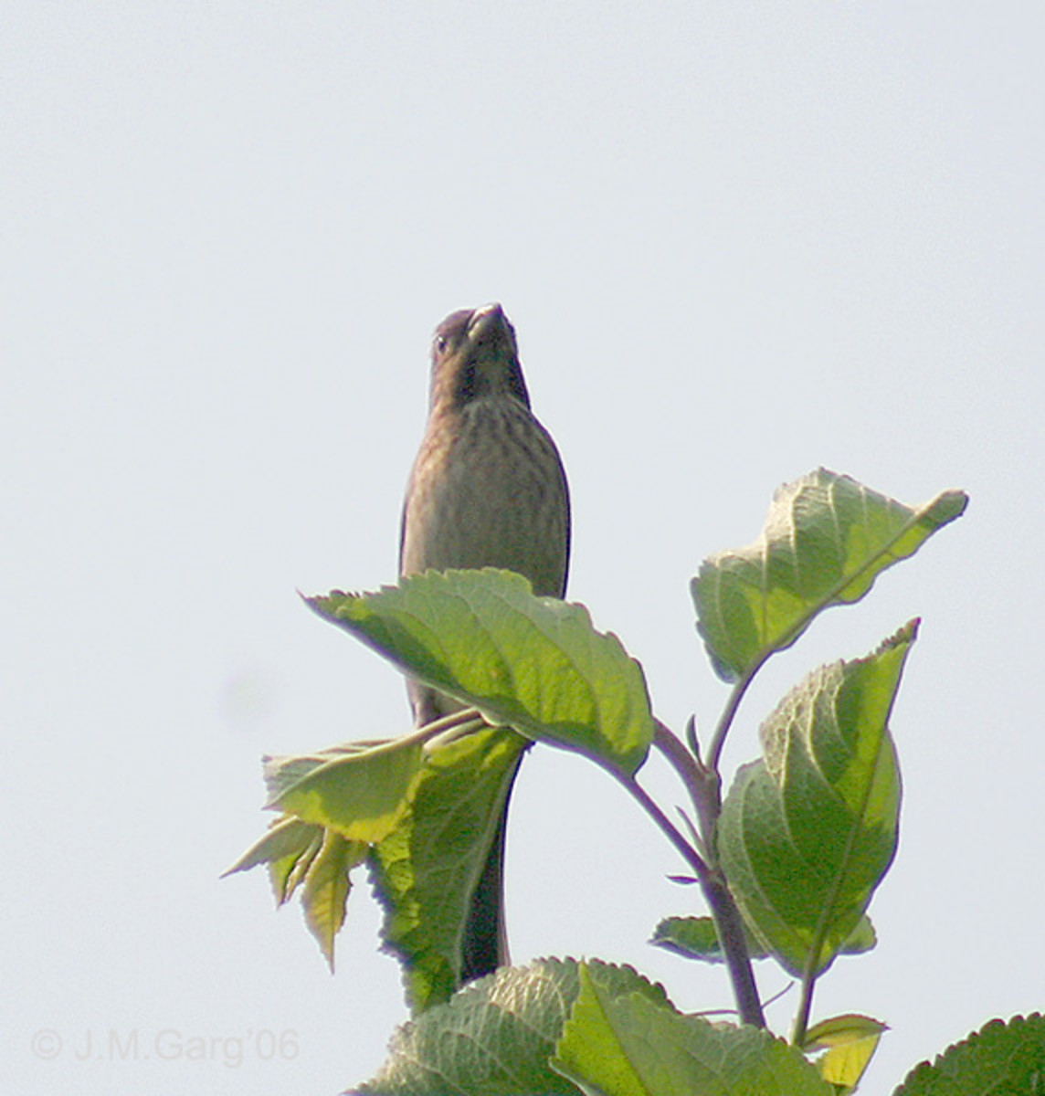 Common Rosefinch (Carpodacus erythrinus) in Kullu