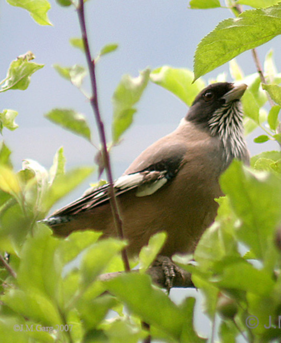 Black-headed Jay Garrulus lanceolatus at 8000 ft. in Kullu