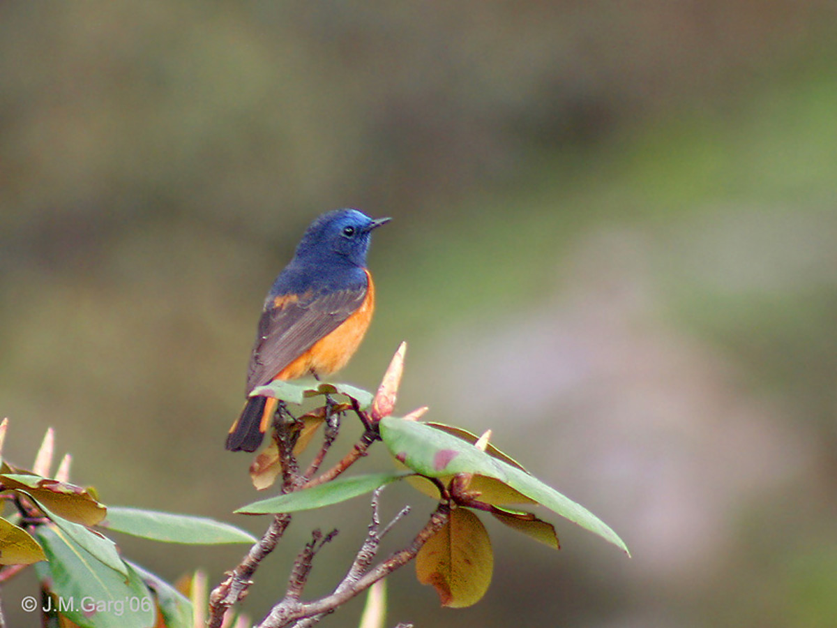 Blue-fronted Redstart Phoenicurus frontalis at Mailee Thaatch (10,500 ft.) in Kullu