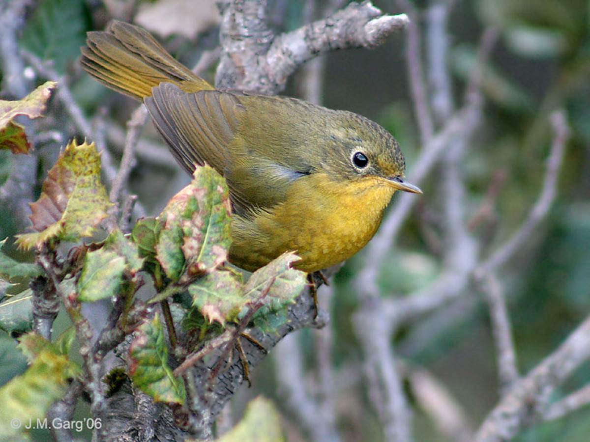 Golden Bush Robin Tarsiger chrysaeus at Mailee Thaatch (11,000 ft.) in Kullu