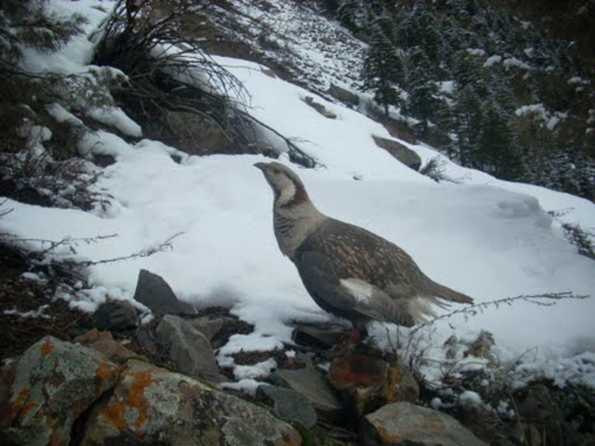 Snow Cock