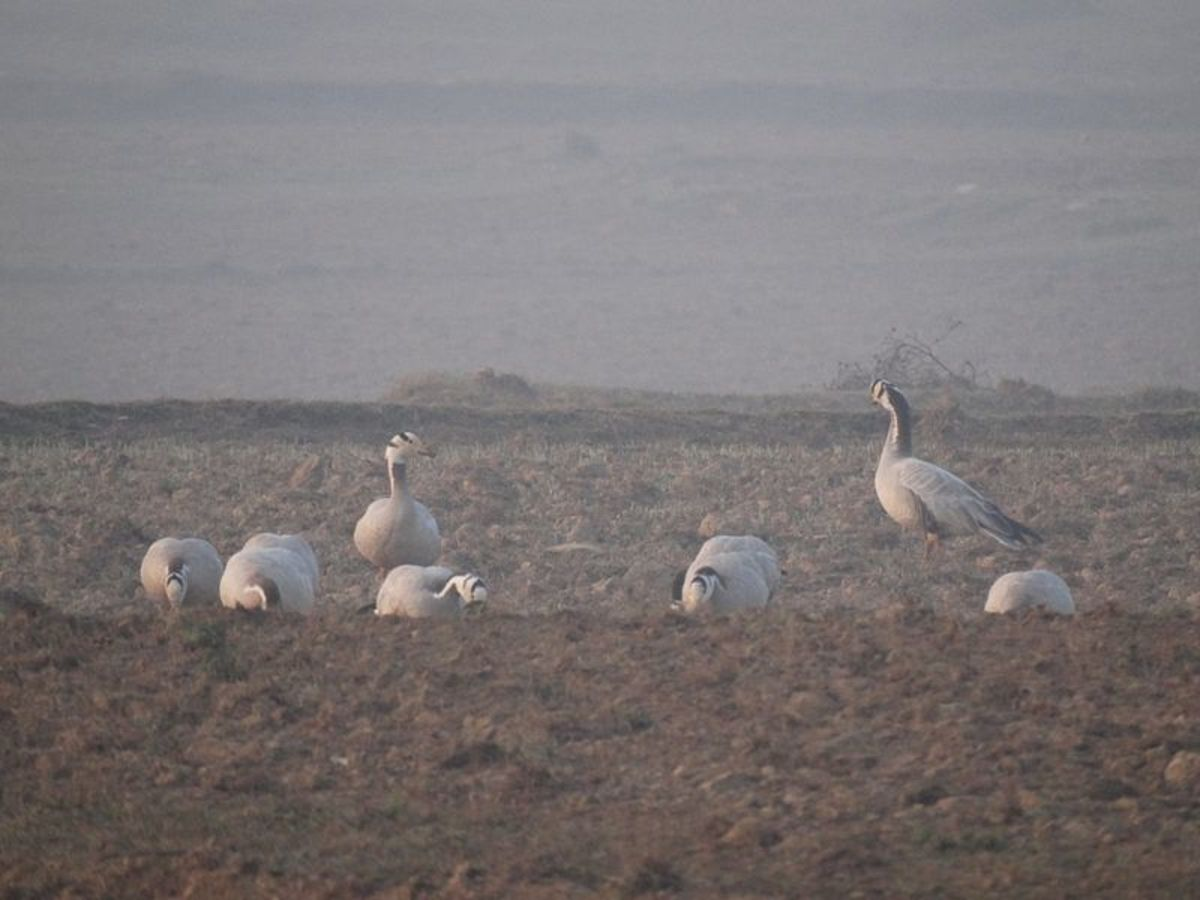 Common bar headed geese in pong dam