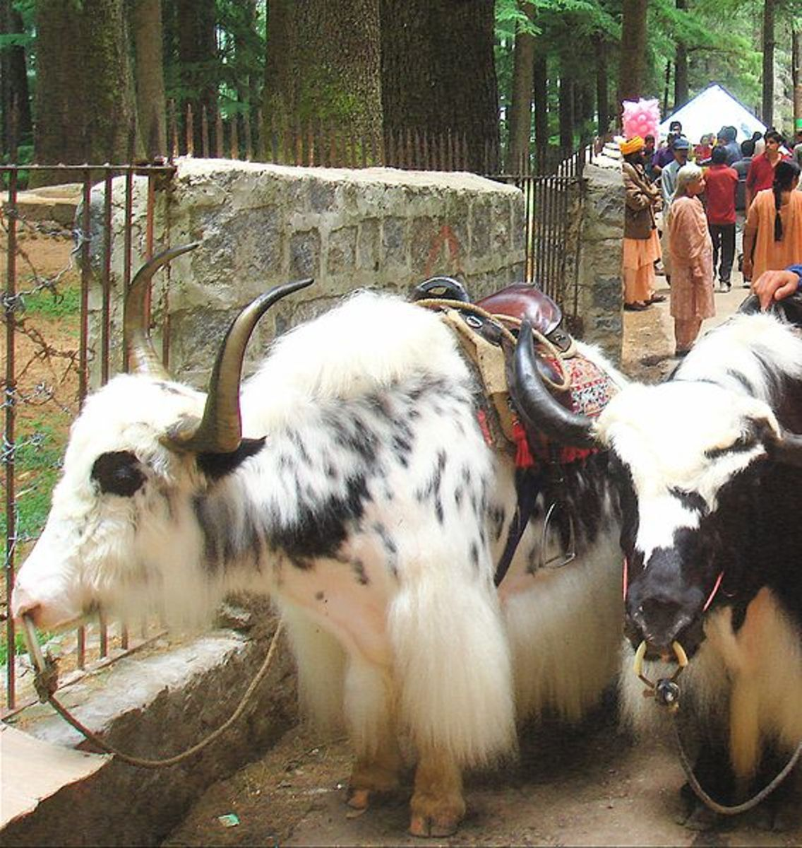 Yaks in Manali