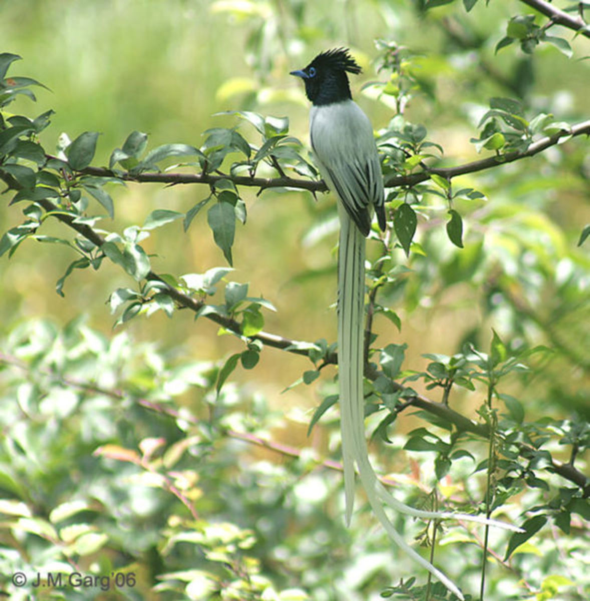 Asian Paradise Flycatcher Terpsiphone paradisi in Kullu