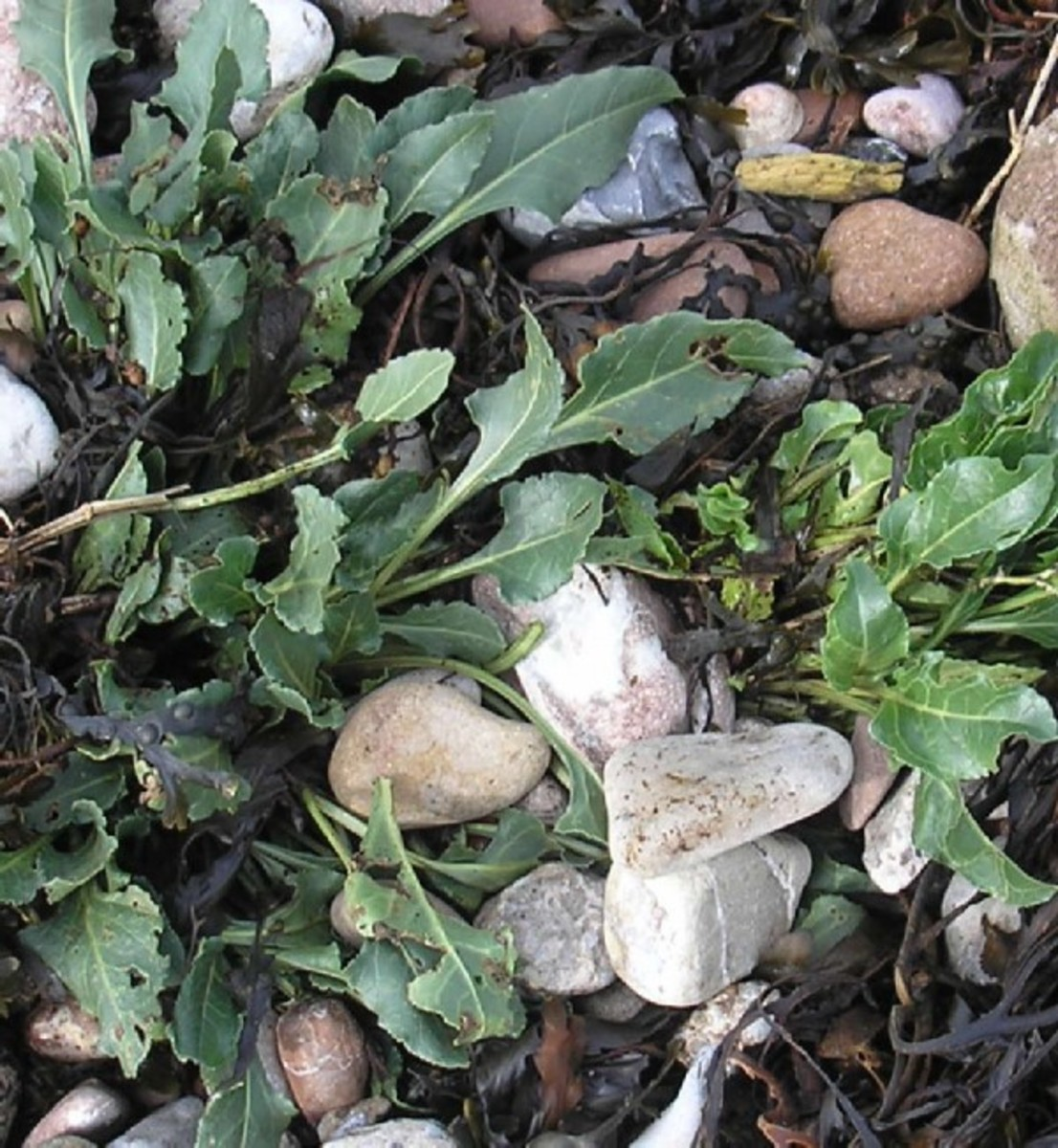 Foraging for edible plants that grow by the sea
