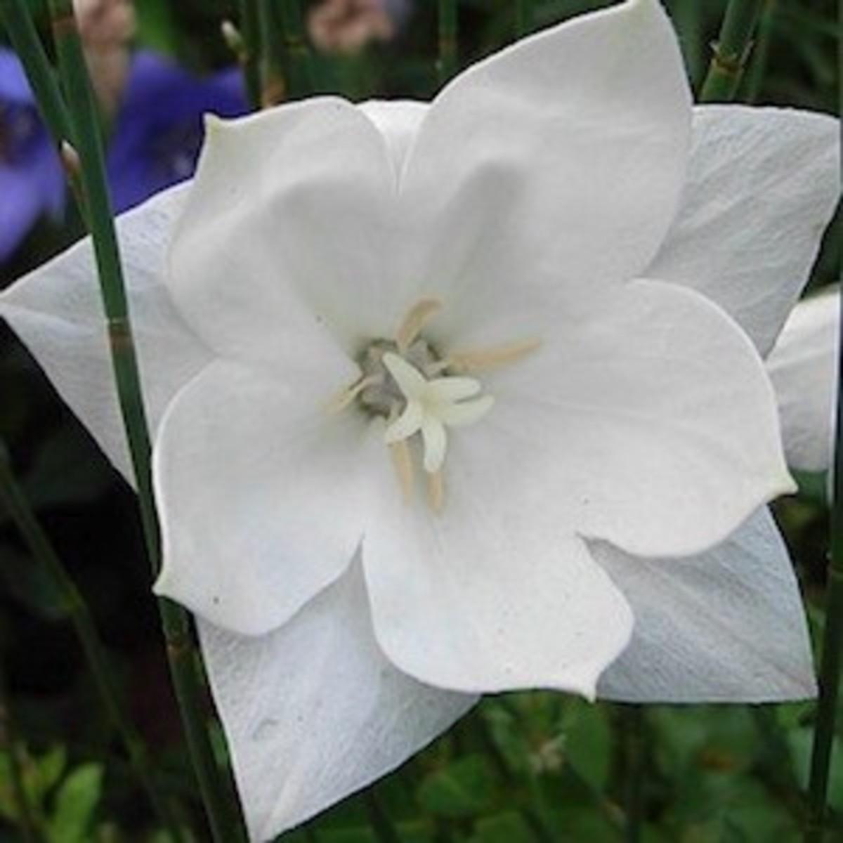 """Balloon Flower """"Hakone White"""" fully opened flower"""