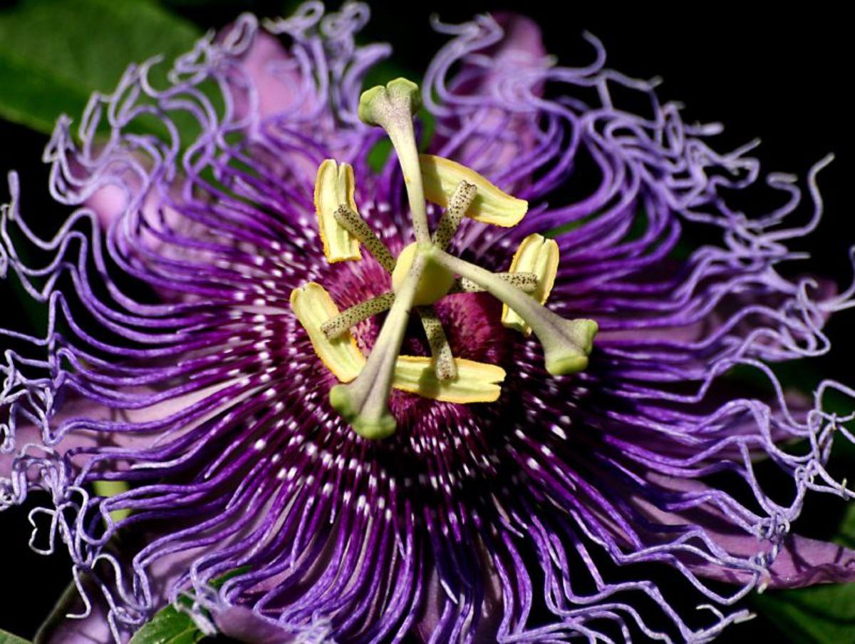 Hardy Passionflower (Passiflora incarnata)