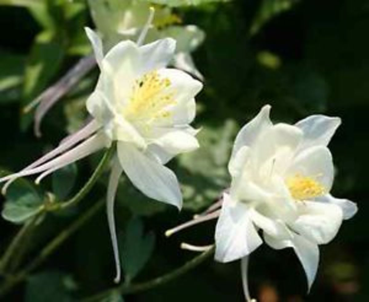 "White Columbine ""Crystal Star"""