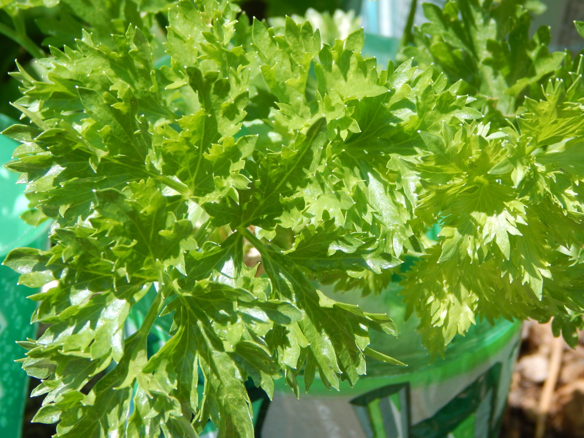 Zwes Krul Celery ready to Harvest
