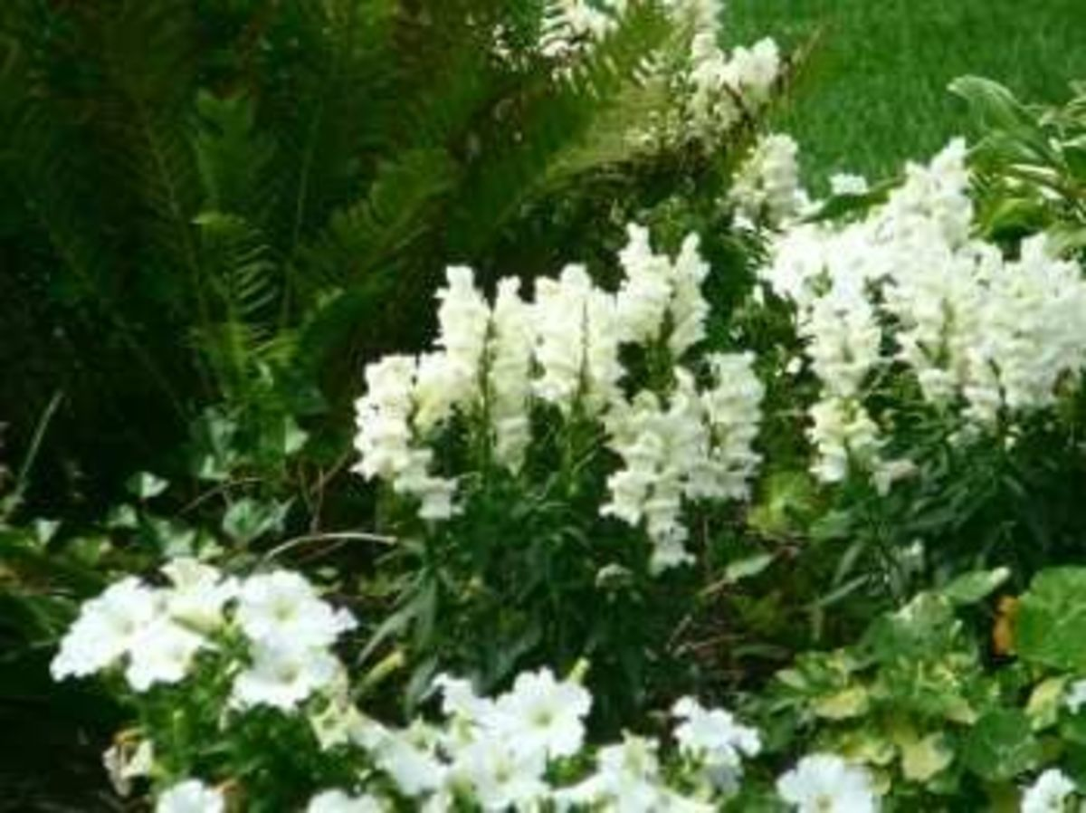 Moonlight garden - all white plants are wonderful to enjoy after dark...