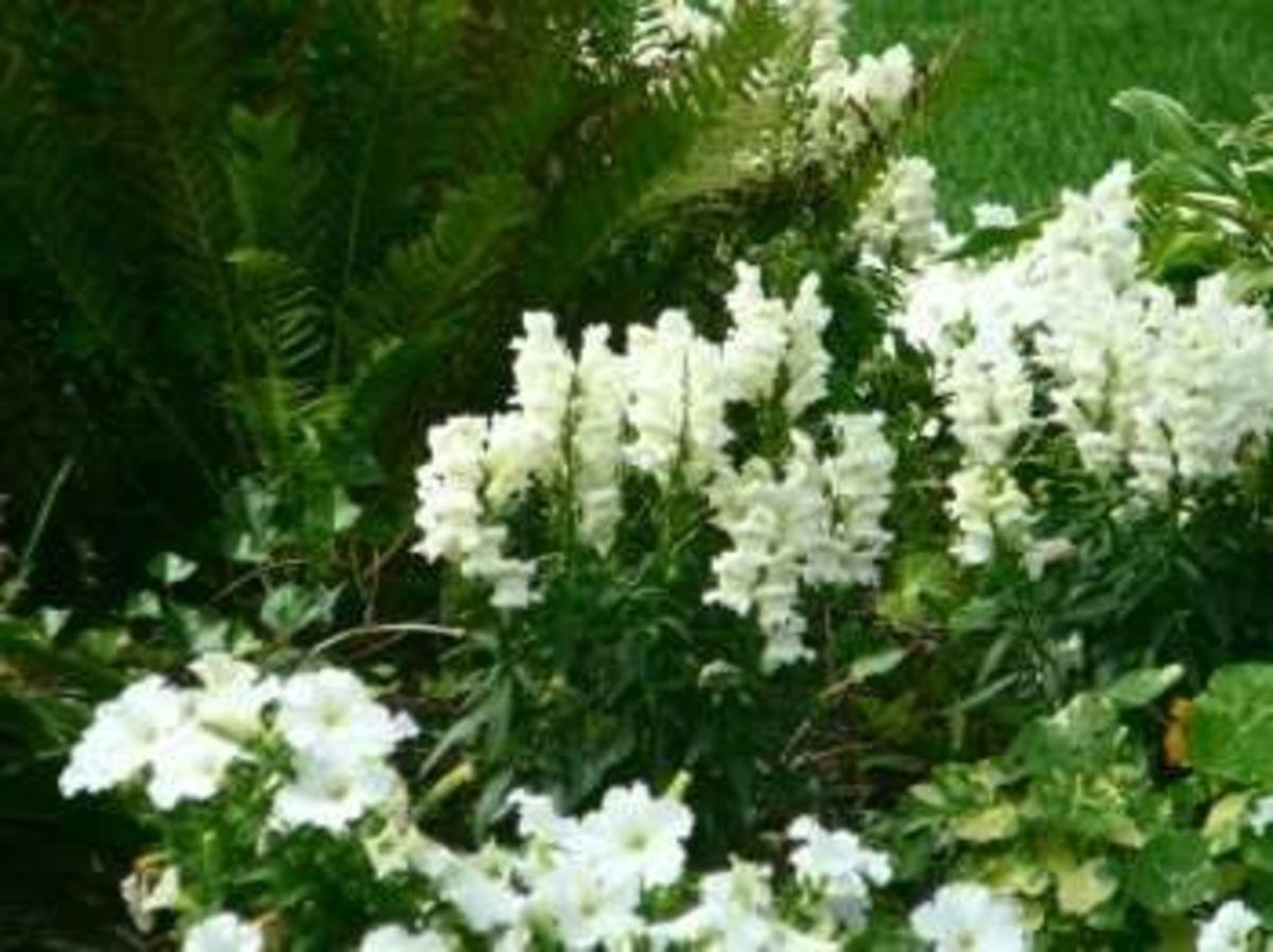 Moonlight garden - all white plants are wonderful to enjoy after dark...
