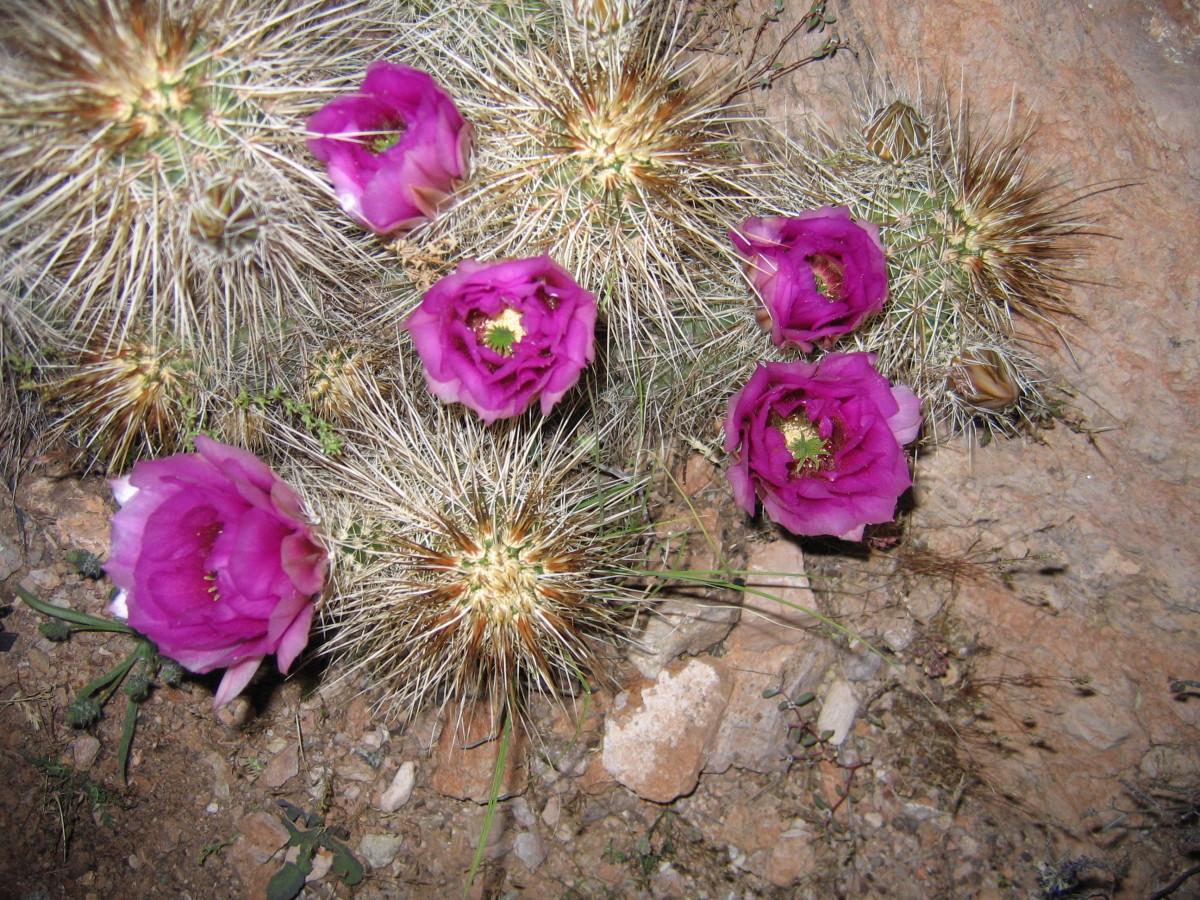 Hedgehog cactus in bloom