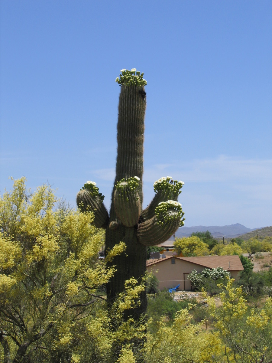 Saguaro in bloom 100 feet from my house