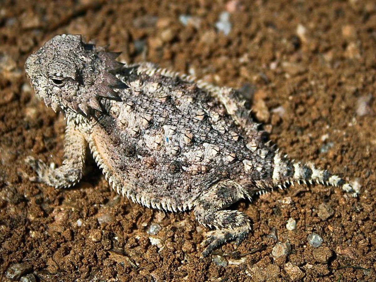 Horned Toad Lizard Reptile & Velvet Ants.