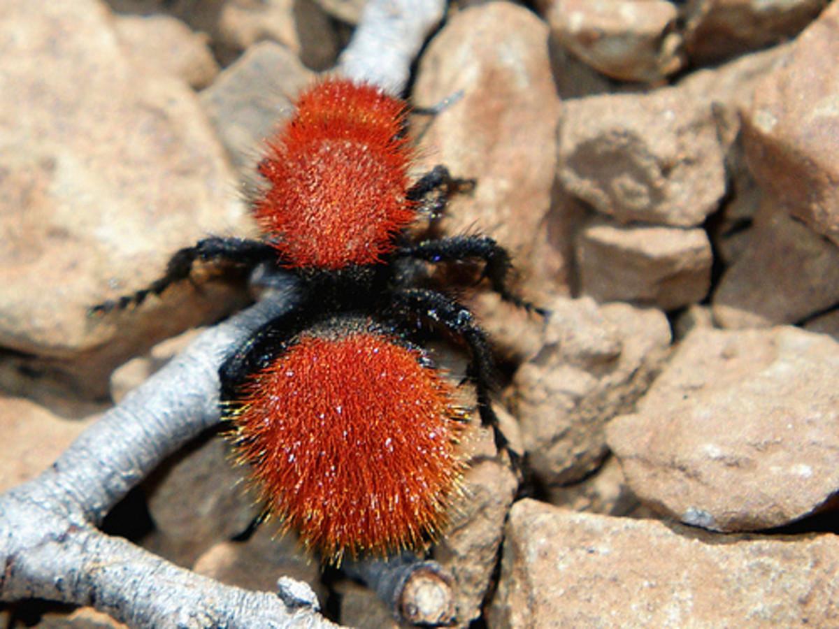 Velvet Ants